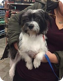 N. Babylon, NY - Shih Tzu/Chihuahua Mix. Meet Franky, a dog for adoption. http://www.adoptapet.com/pet/17090502-n-babylon-new-york-shih-tzu-mix