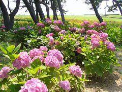 福岡市の海の中道の花の見頃は春だけではありません 意外と知られてませんが梅雨時はあじさいの名所なんですよ ワンダーワールド口から海の中道駅までの道はあじさいの小径と呼ばれていて2000株の紫陽花が綺麗に咲きます 意外と梅雨時期は混んでいないのでおすすめですよ(_)v tags[福岡県]