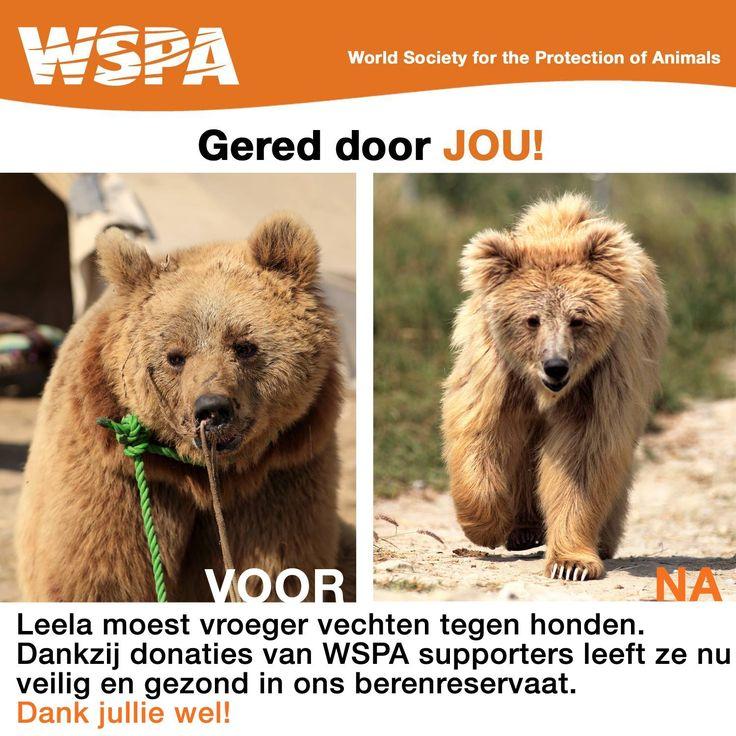 Dit is Leela, een van de beren die we hebben kunnen redden van beer-hondengevechten. Zij leeft nu veilig en gezond in het Balkasar berenreservaat!