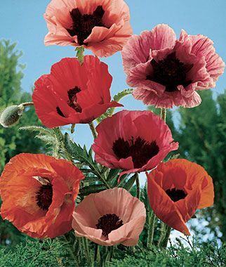 Poppy, Oriental Poppy Mix  HEIRLOOM. Large flowers, scarlet to pink with deep purple centers.  The fragile beauty and shimmering colors of all poppies are magical. They practically grow themselves, which is why they were essentials in remote cottage gardens. Large flowers, scarlet to pink with deep purple centers. Flowers May-June.