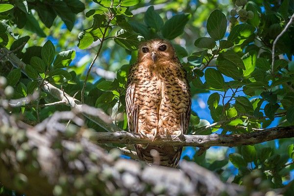 The Okavango Delta's inscription as a World Heritage Site is a major conservation milestone #Rarity Pel's fishing-owl