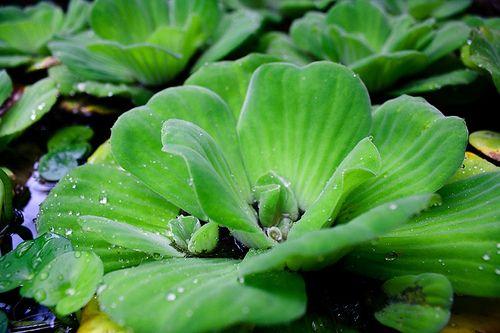 Lechuga de agua, Pistia Stratiotes, repollo de agua -Perenne de rápido crecimiento.Sol o semisombra, no aguanta heladas, su temperatura ideal es de 22° a 30° Agua a menos de 5° puede matar la planta.