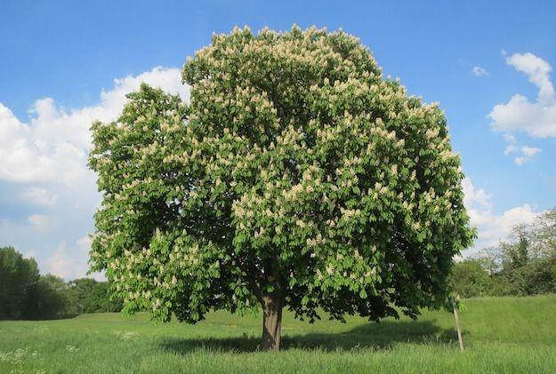 Ippocastano Albero Ornamentale Alberi In Fiore Coltivare