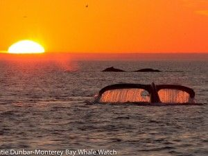 Humpback whales...photographer  Katie Dunbar captures beautiful sunset in Monterey Bay