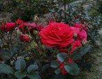 Waar en wanneer plant je rozen? Welke grond verkiezen ze? Tips voor het planten en aankopen van rozen. - Groen van bij ons - Bloemen en planten