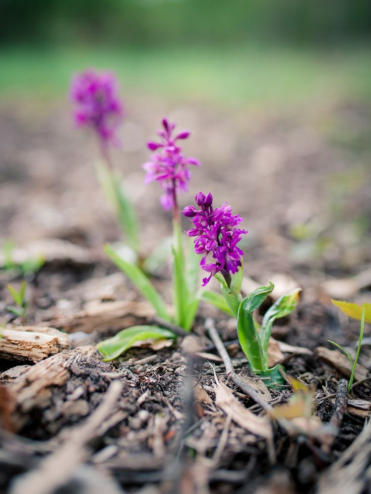 we are three - three wild orchids - drei wilde Orchideen