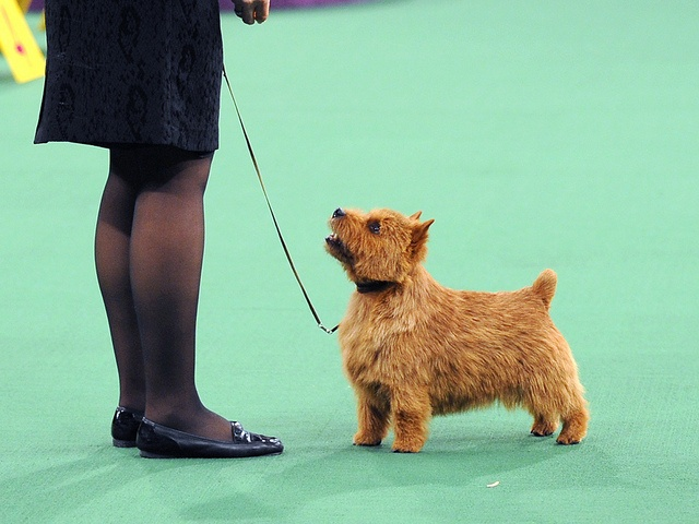 Westminster Kennel Club Dog Show | Norwich terrier, Dog ...