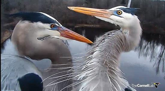 The best reality show ever! The Great Blue Heron nest cam in Sapsucker Woods at Ithaca, NY, as provided through Cornell University's Ornithology program. http://cams.allaboutbirds.org/channel/8/Great_Blue_Herons/  - Go watch now!