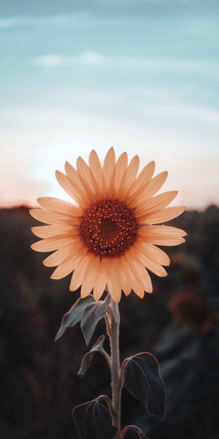 Tumblr Wallpapers – Wallpaper sunflower girassol 🌻 wallpaperpinteres