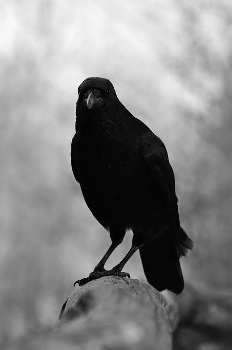 Pet crow. (Yes, crow rather than raven because they are so incredibly intelligent... and ravens bite) aha...good point.