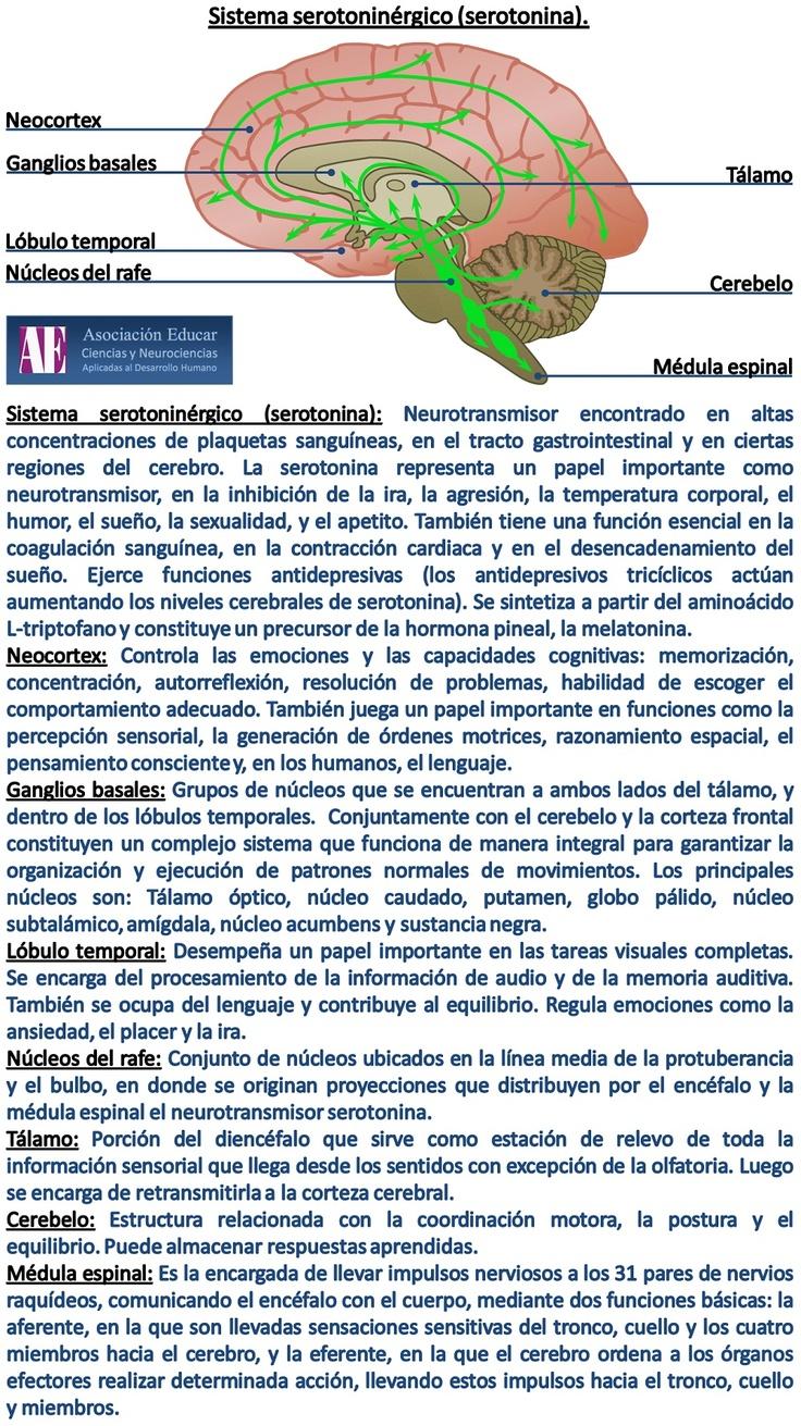 Sistema serotoninergico - Asociación Educar - Ciencias y Neurociencias aplicadas al Desarrollo Humano - www.asociacioneducar.com