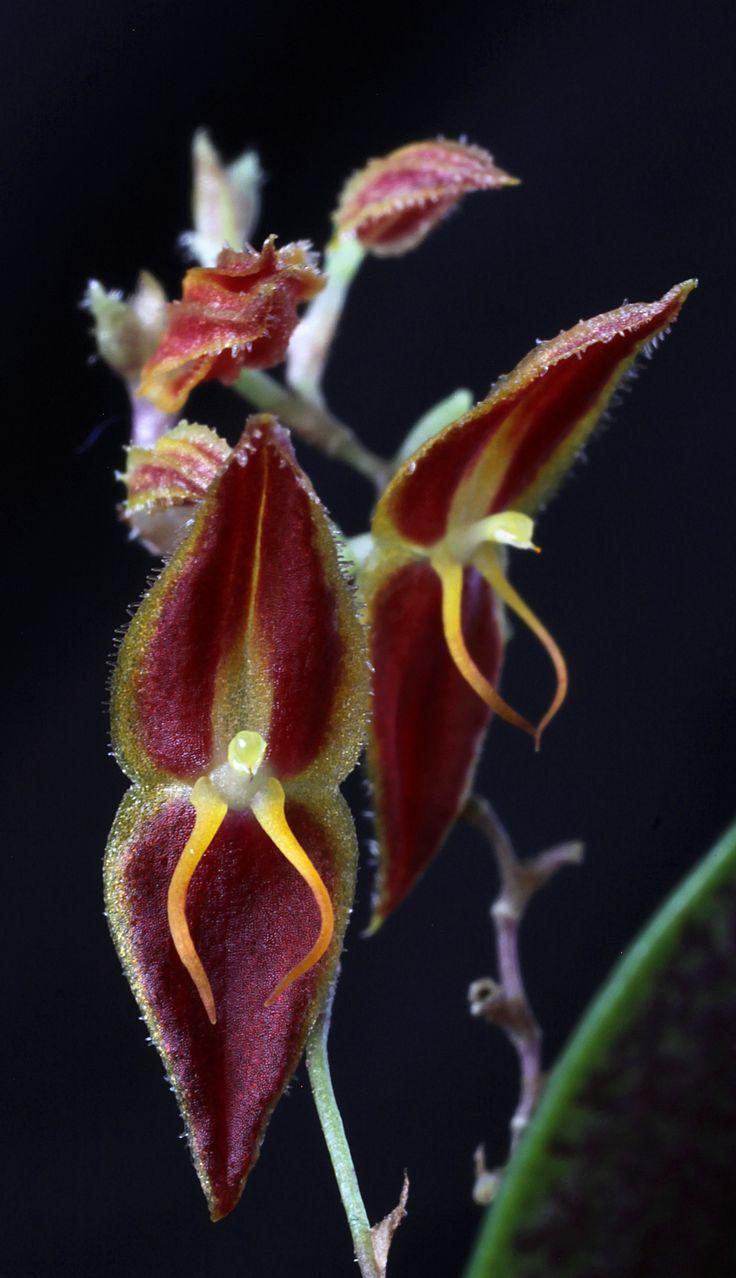 Miniature-orchid / Micro-orquidea: Lepanthes rafaeliana - Flickr - Photo Sharing!