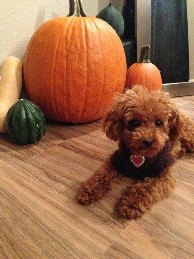Fall poodle!