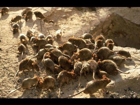 Sie sehen uns als Rattenplage und verwenden die gleichen Gegenmittel.... - YouTube