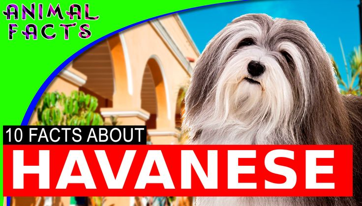 10 Cool Facts About Havanese Dogs 101 Information #havanese