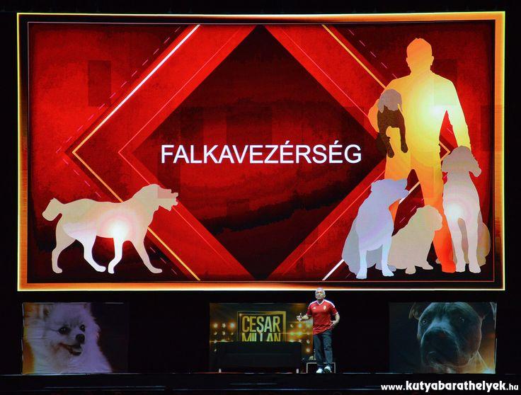 Cesar Millan Live Budapest - Egy nyugodt, asszertív falkavezér mellett a kutya is boldogabb  #kutya #dog #cesarnillanlive #cesarmillan #kutyabaráthelyek