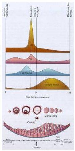 O sistema reprodutor feminino é formado pelas gônadas (ovários) que produzem os óvulos, as tubas uterinas, que transportam os óvulos …