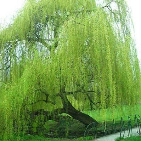 5 Green Willow Seeds Tree Weeping Flower Giant Full Landscape Garded Yard Shade …