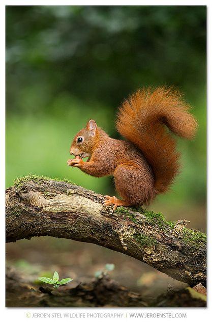Red Squirrel-Sciurus vulgaris