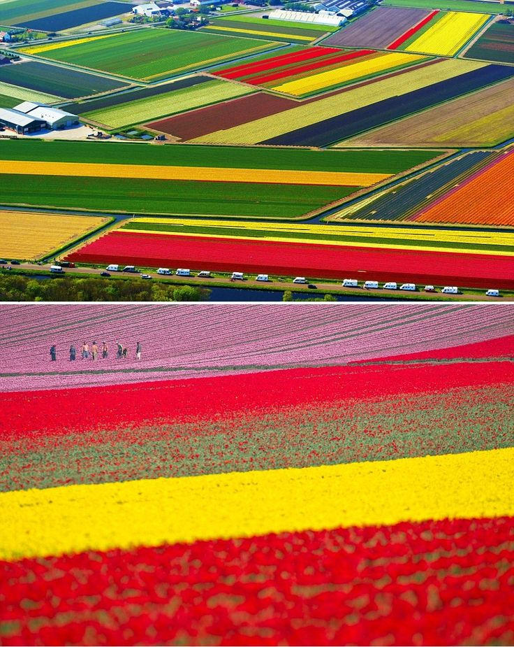 Champs de tulipes à Lisse, Hollande.