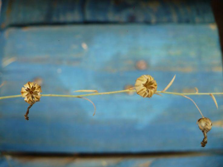 flax, blue