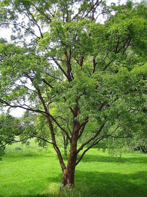 Zimtahorn - Acer griseum günstig aus der Baumschule online kaufen