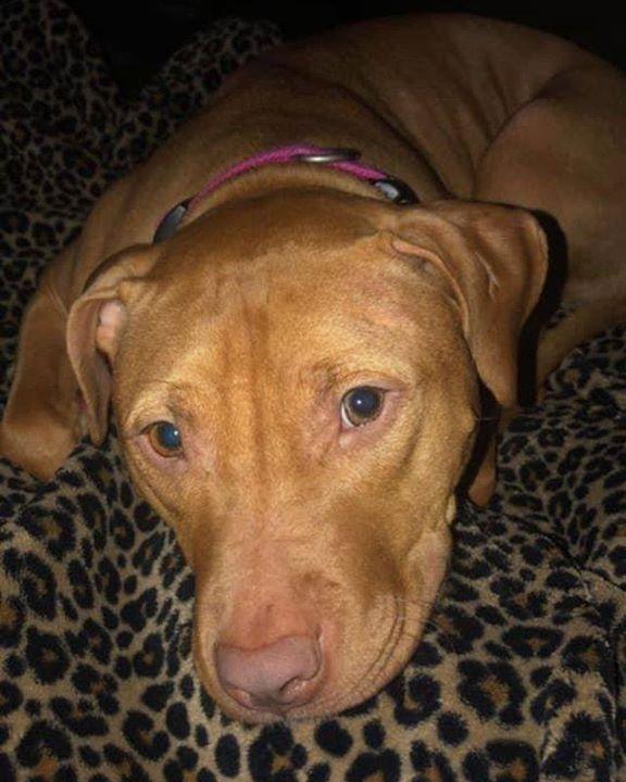 Lost Dog Winona American Staffordshire Terrier Female Date Lost