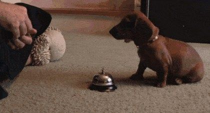 Ringing a bell for treats.. awwww