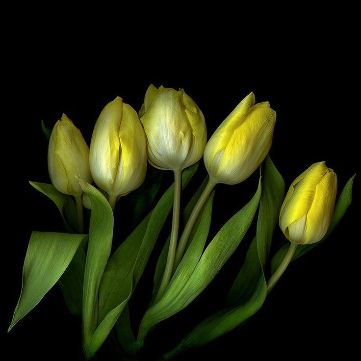 FOLLOW THE RYTHM… Tulips by Magda Indigo - Photo 190975803 / 500px