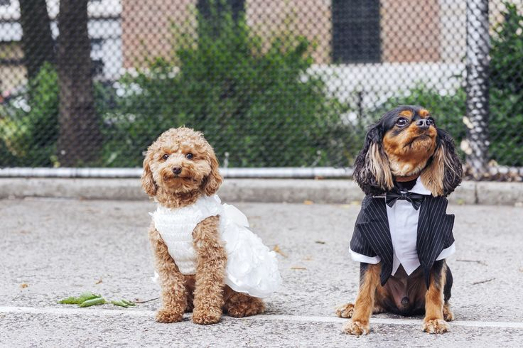 These Tiny Dogs Are Getting Married, and Everyone's Invited ...