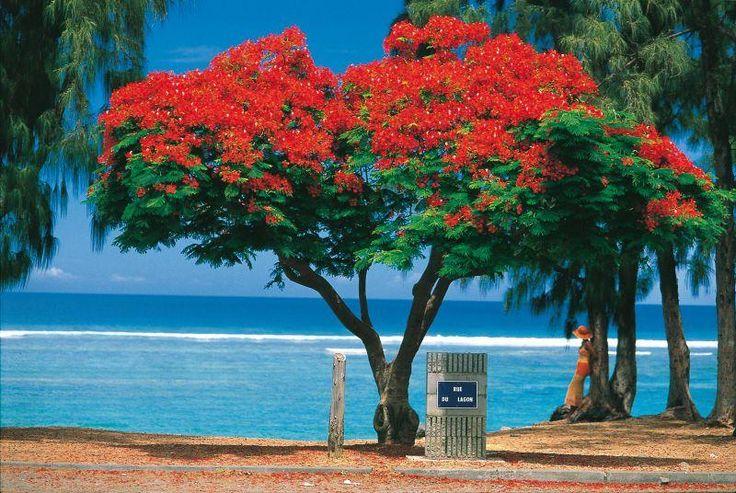 'Flamboyant' tree in Reunion Island.