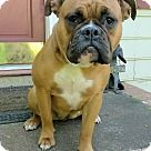 Lawrenceville, GA - Boxer/English Bulldog Mix. Meet Betty, a for adoption. http://www.adoptapet.com/pet/18088592-lawrenceville-georgia-boxer-mix