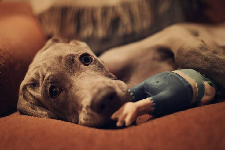 weimaraner puppy #weimaraner #puppy #photography