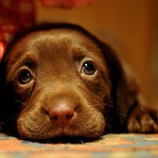 156 best Chocolate Lab images on Pinterest | Chocolate labs ...