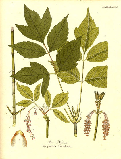 Acer negundo is a species of maple native to North America. Box elder, boxelder maple, ash-leaved Maple, and maple ash are its most common names in the United States; in Britain and Ireland it is also known as ashleaf maple.