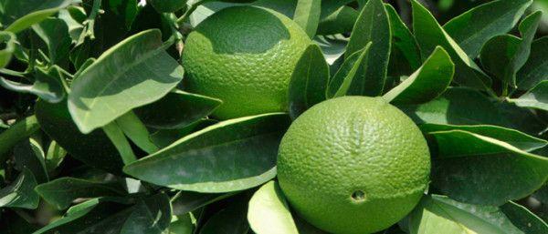 Ulei Esential de Bergamota / Bergamot - ulei de bergamota - Uleiuri Esentiale Young Living