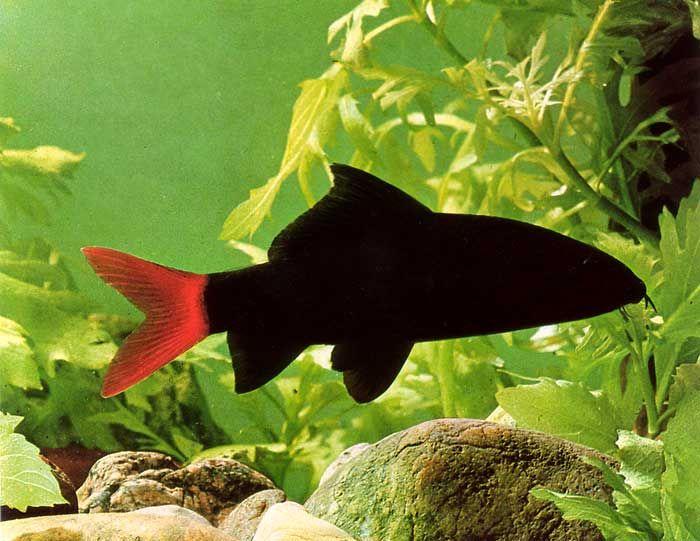 Pez tiburón negro.
