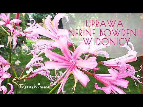 Jak Uprawiac Nerine Bowdenii W Donicy Jako Rosline Tarasowa Nerine Bowdenii Ogrod Ogrodek Ogrodnictwo Taras Balkon Rytmynatury Kwiat Kwia Peonies Garden Lily