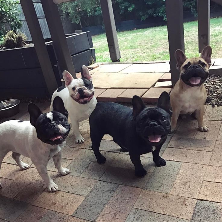Afternoon hanging with the gang, French Bulldogs