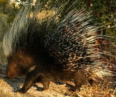 The Cape porcupine is a large rodent that has sharp quills covering most of its stocky, short-legged body. This porcupine defends itself by thrusting its quills into the flesh of an attacking animal.
