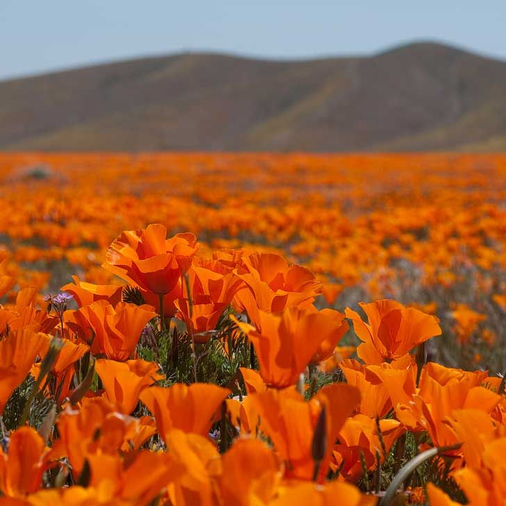 Antelope Valley California Poppy Reserve has the most consistent blooms of California poppies, the state flower. The reserve is located in the rural westside of Antelope Valley in northern Los Angeles County // localadventurer.com