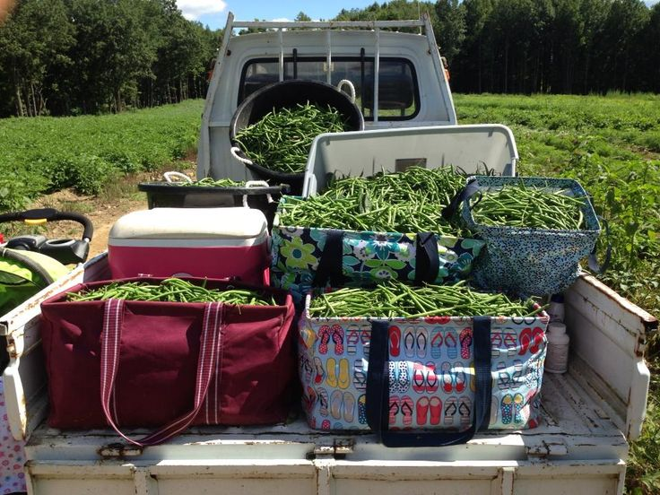 Large Utility Totes getting down & dirty and holding a whole lot of green beans. -Linda M