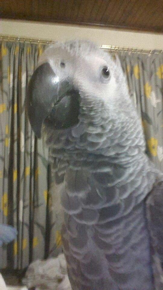 Rocky #myrocky #africangrey #parrot