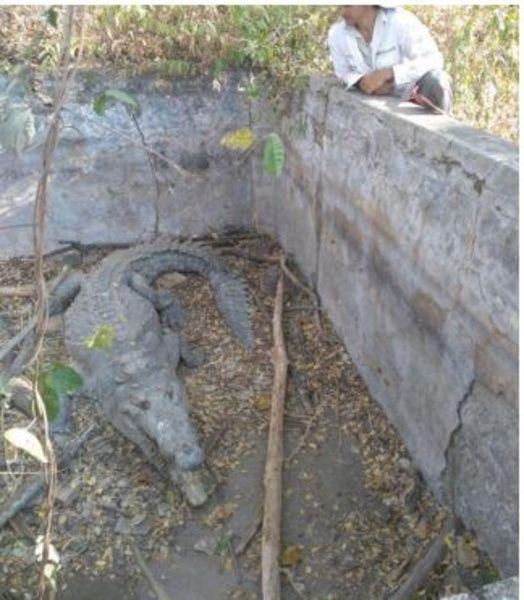 (Video y fotos) Así rescataron a 3 cocodrilos
