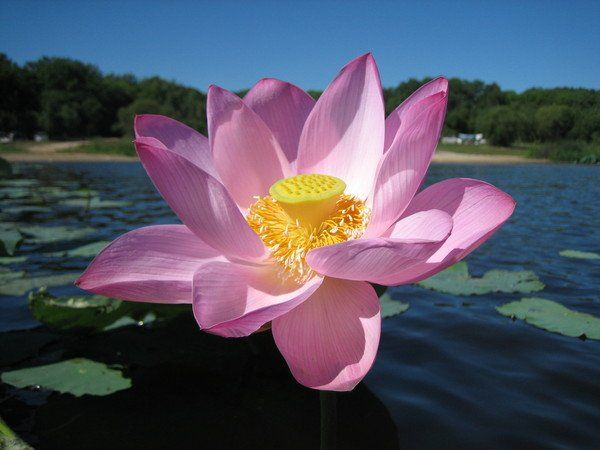 national flower of India-Lotus