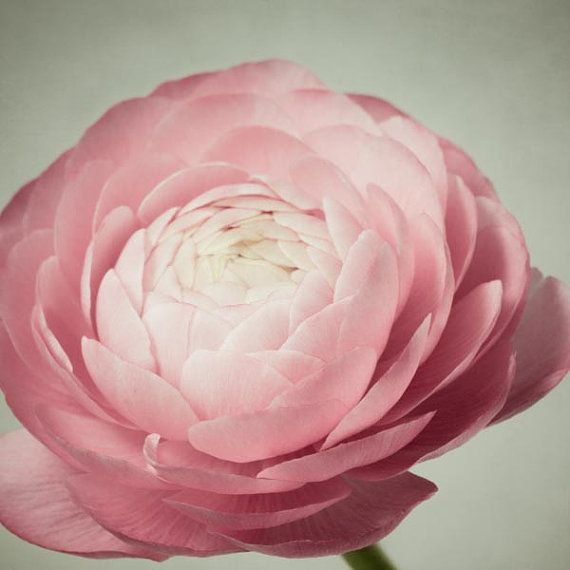 Flower Photography, Pink Ranunculus Flower Photo,Dusty Pink Flower Art, Nature Photography, Still Life Photography 8x8 10x10 12x12 or 16x16 on Etsy, $15.00