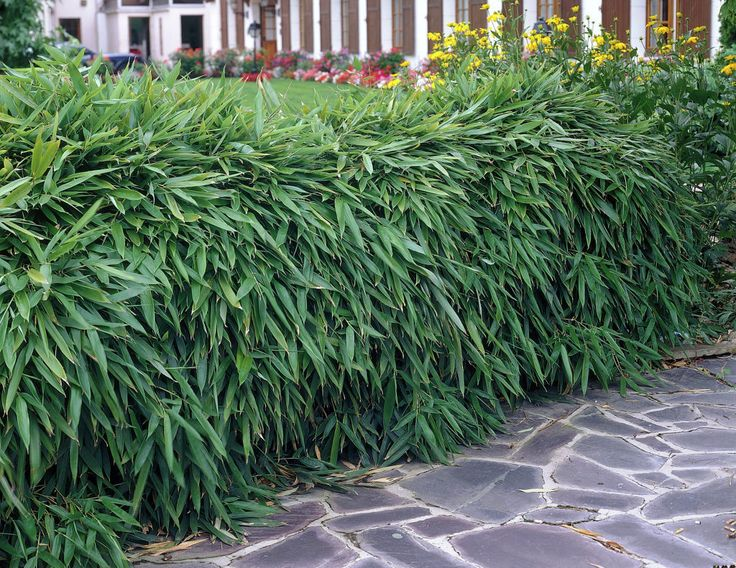 Landscaping With Dwarf Bamboo : Images about bamboos on walking sticks habitats and golden bamboo
