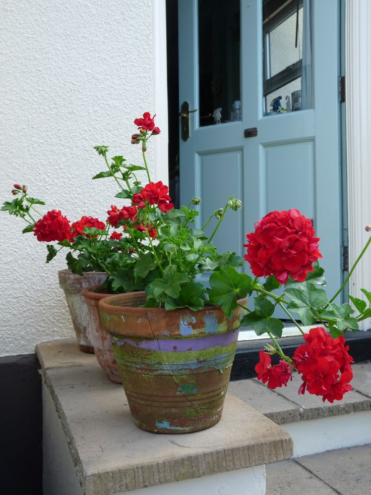 313 best plants geranium images on pinterest geraniums for Low maintenance flowers for pots