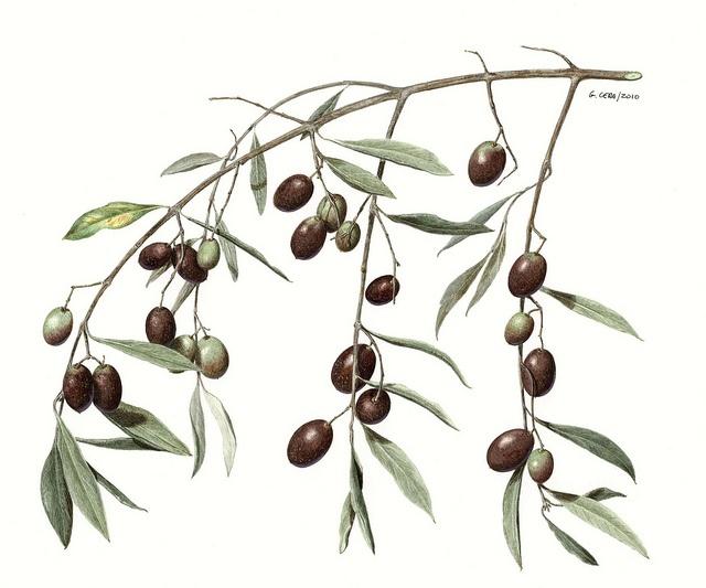 botany-ciuccio51 / Olive, via Flickr.