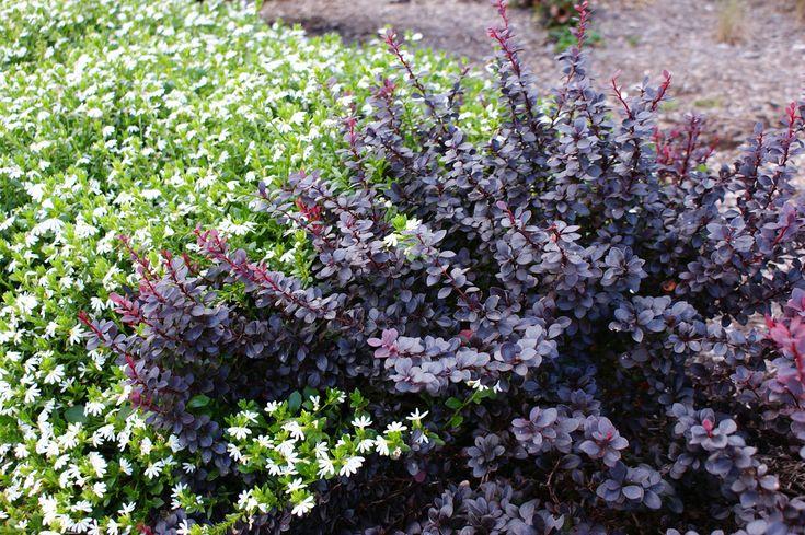 Лиственные кустарники Барбарис Тунберга Конкорд по разумной цене - Зеленый сад